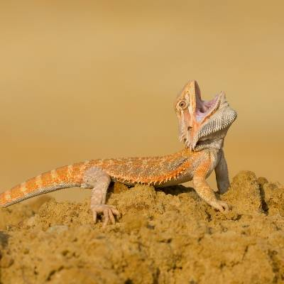 Pogona vitticeps <br> Central bearded dragon <br> Agama australská