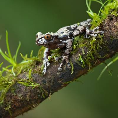 Triprion spinosus <br> Spiny-headed tree frog