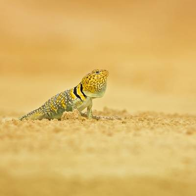 Crotaphytus collaris <br> Common collared lizard <br> Leguánek obojkový