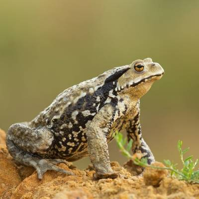 Bufo japonicus <br> Japanese common toad <br> Ropucha japonská