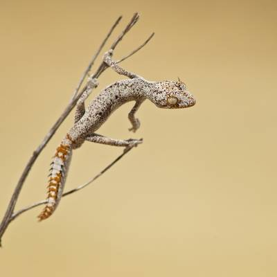 Strophurus ciliaris <br> Northern spiny-tailed gecko