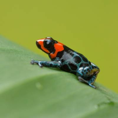 Ranitomeya benedicta <br> Blessed poison frog