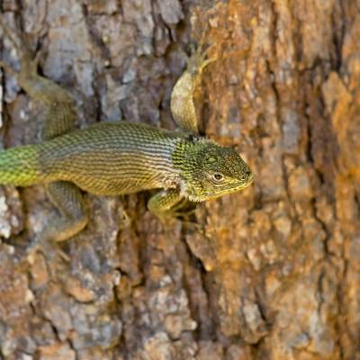 Sceloporus malachiticus <br> Emerald swift <br> Leguánek malachitový